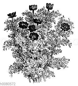Herbst-Adonisröschen