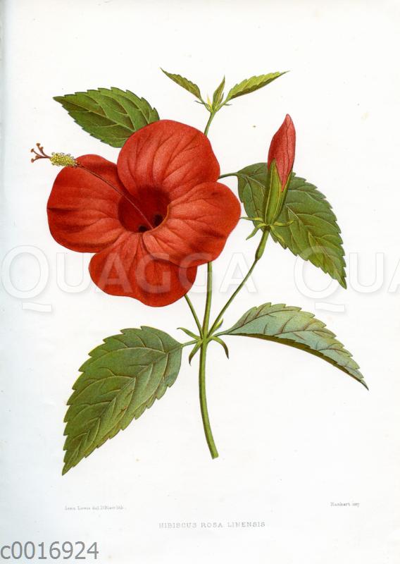 Hibiscus rosa linensis (Chinesischer Roseneibisch)