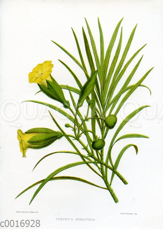 Thevetia nereifolia