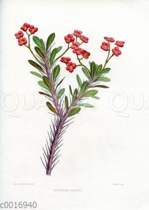 Euphorbia bojeri