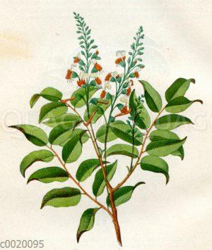 Balsambaum