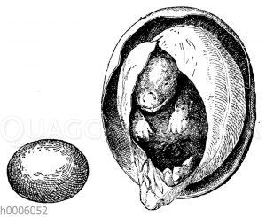Schnabeltier: Ei mit Jungem