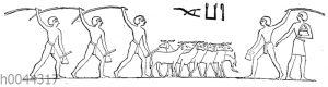 Ein besätes Feld wird von Ziegen festgetreten