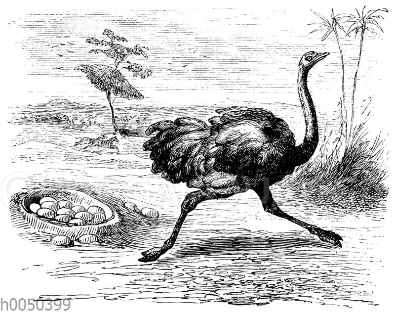 Strauß und sein Nest