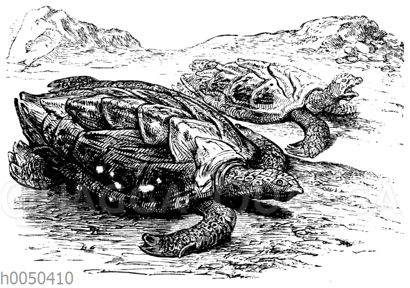 Meeresschildkröten