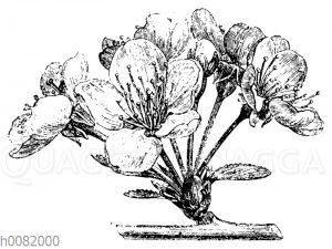 Doldiger Blütenstand der Kirsche