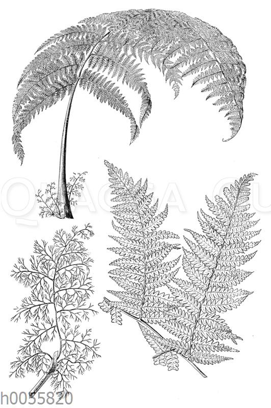Hemitelia capensis