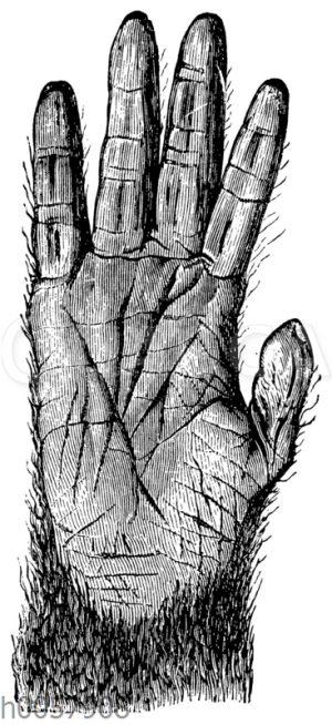 Schimpanse: Hand