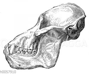 Orang-Utan: Schädel eines alten Tieres