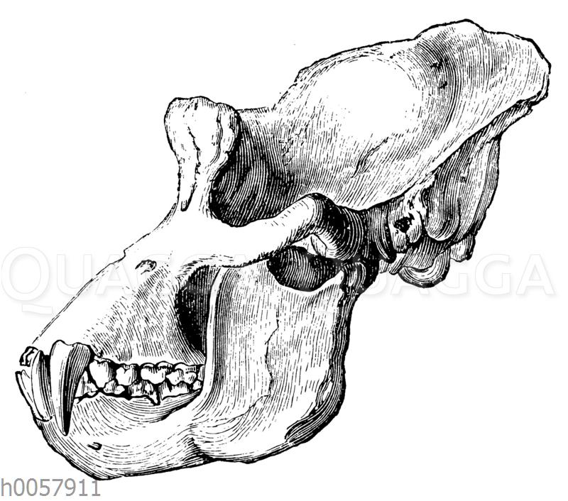 Gorilla: Schädel eines alten Tieres