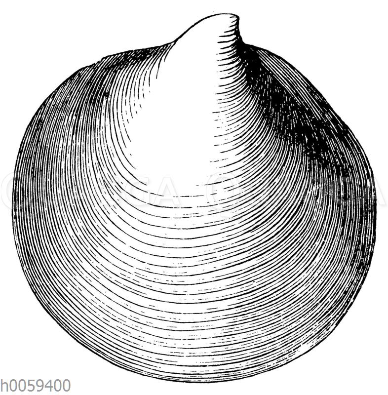 Inoceramus polyplocus