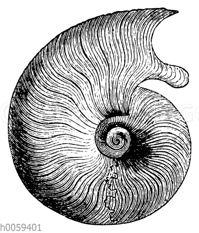 Ammonites (Harpoceras) opalinus
