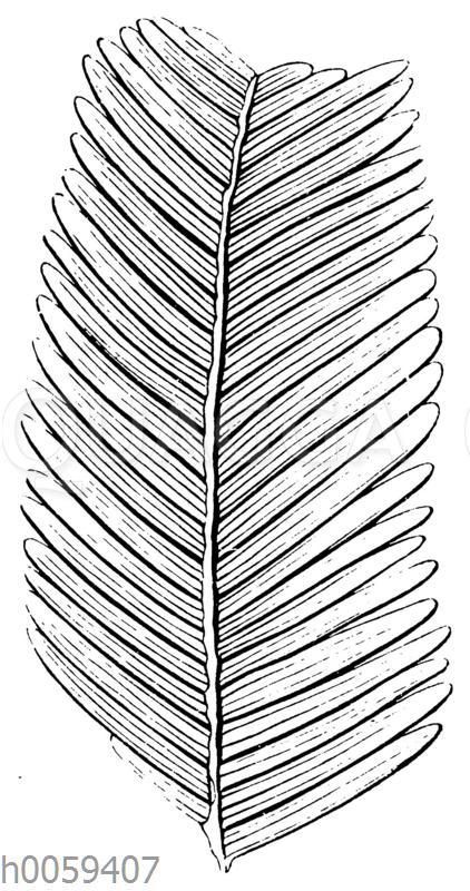 Pterophyllum Preselianum