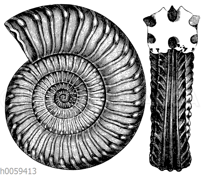 Ammonites (Arietites) Bucklandi