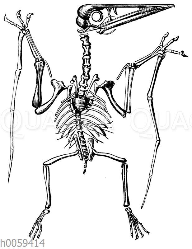 Pterodactylus spectabilis