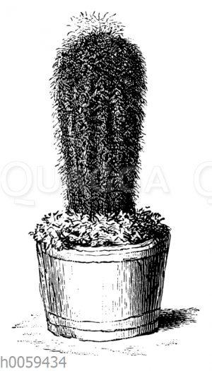 Pilocereus Daccroitzii
