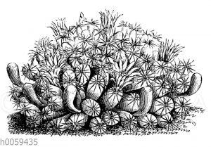 Mammilaria applanata