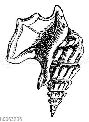 Pelikanfuß