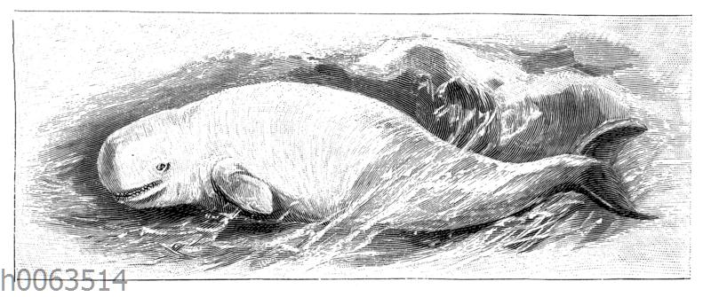 Weißwal