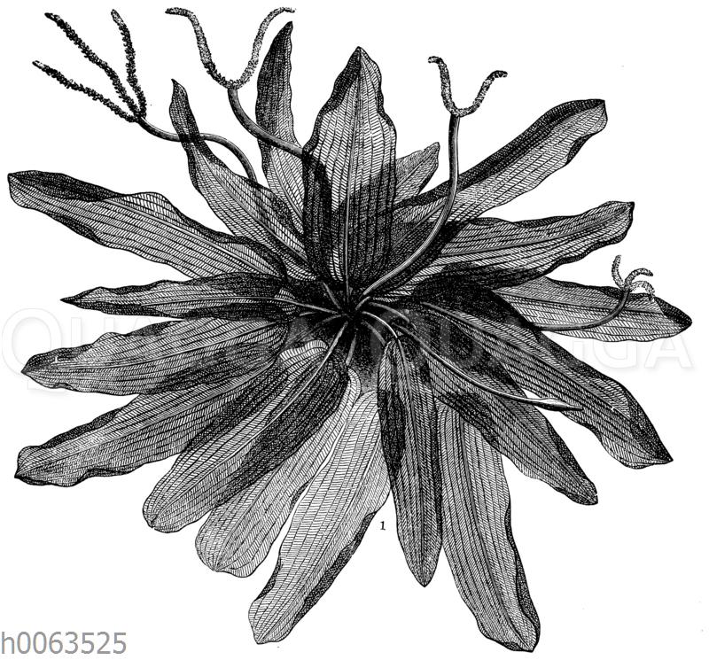 Gitterpflanze