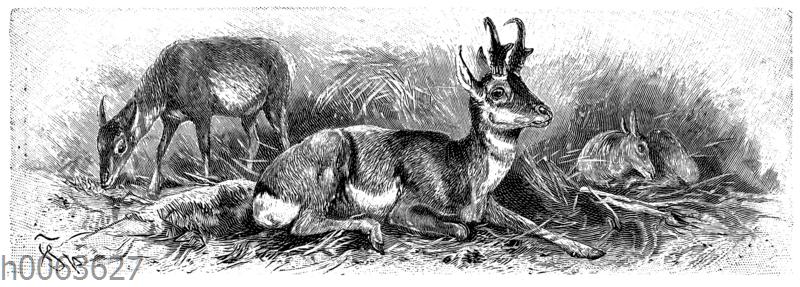 Gabelantilope