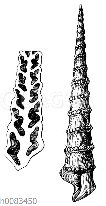 Nerinea tuberculosa