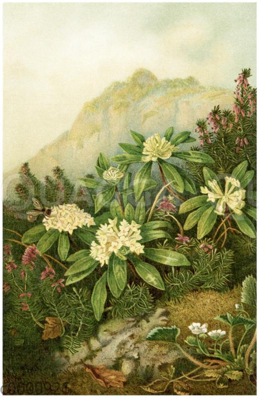 Die Königsblume auf dem Lorenziberge in Krain
