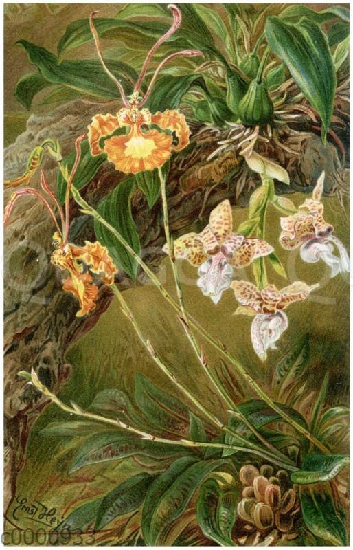 Westindische Orchideen