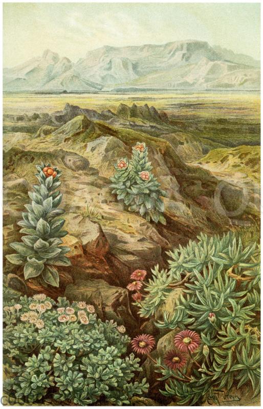 Immortellen und Kristallkräuter der Kapflora