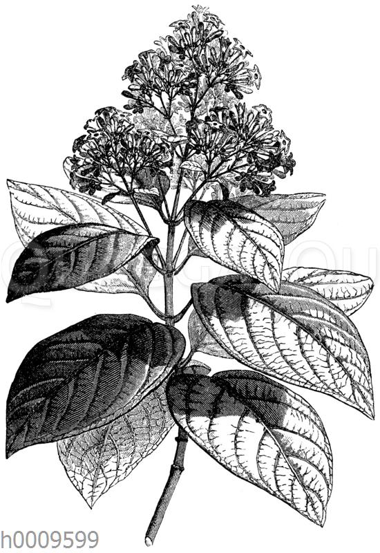 Fieberrindenbaum