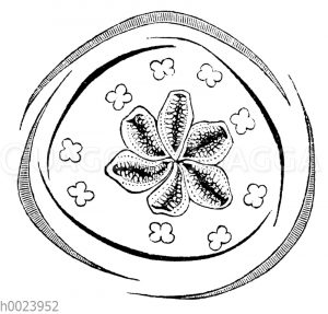 Schwanenblume