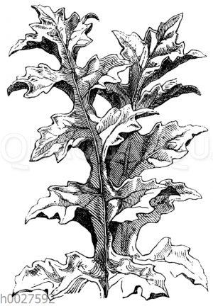 Akanthusblatt nach der Natur