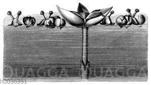 Die Blüten der Vallisnerie (Vallisneria spiralis)