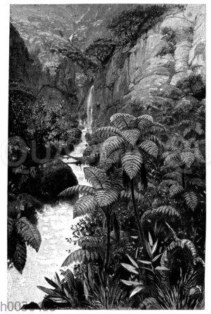 Baumfarne auf Ceylon
