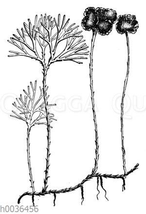 Rhipidopteris peltata