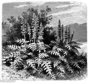 Acanthus mollis an der Küste von Dalmation