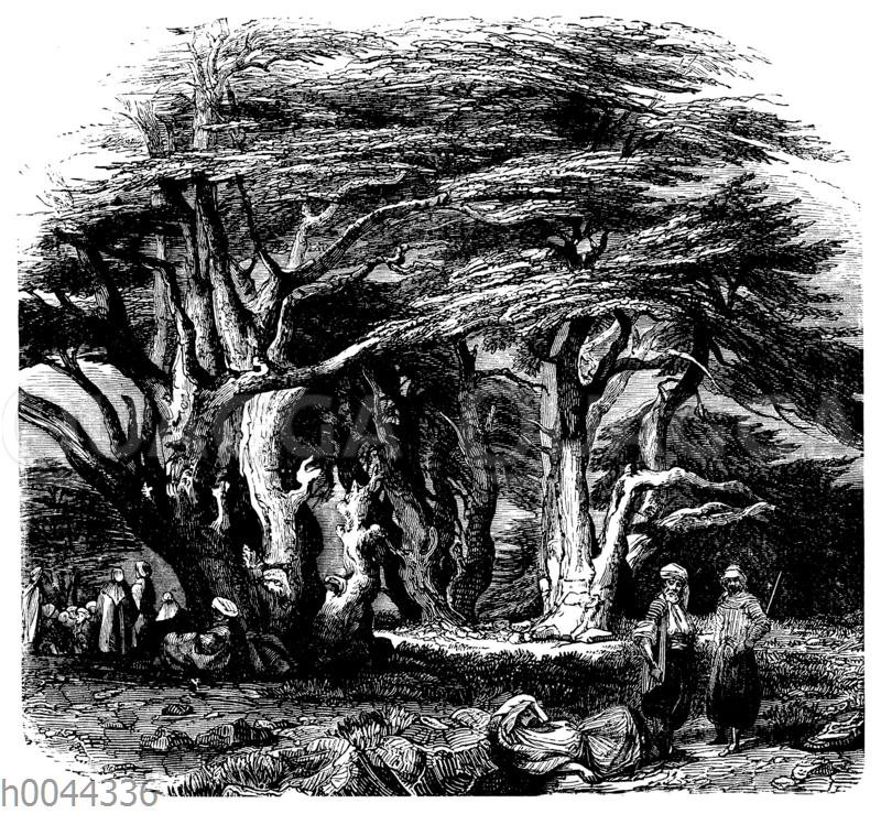 Zederngruppe auf dem Libanon