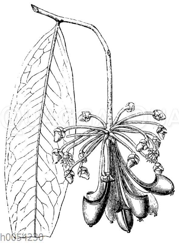 Marcgravia picta