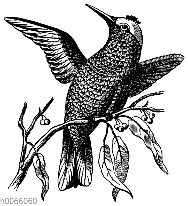 Kolibri auf einem Zweig