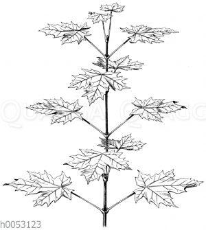 Aufrechter belaubter Zweig des Spitzahorns (Acer platanoides).