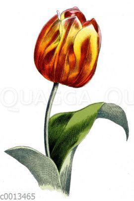 Garten-Tulpe