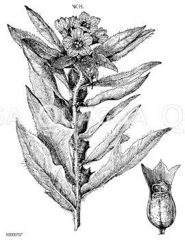 Bilsenkraut: Zweig und aufgesprungene Frucht