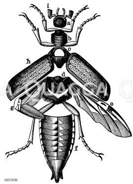 Hautskelett des Maikäfers. a) Kopf, b) Vorderbrust, c) Mittelbrust, d) Hinterbrust, e) Hinter- und Unterflügel, f) Hinterleib, g) der gefaltete Hinterflügel, h) Vorder- und Oberflügel (Flügeldecken), i) Fühler